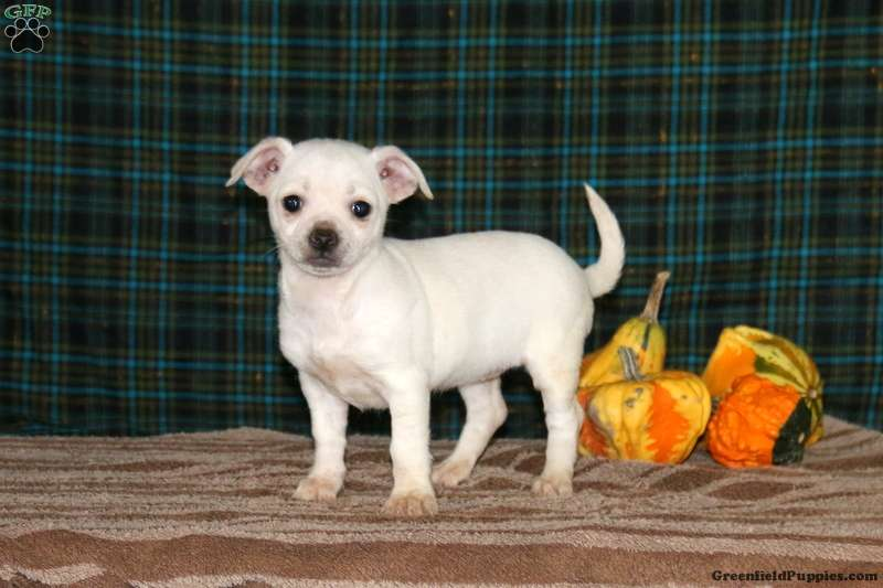 chihuahua for sale in pa lacy chihuahua mix puppy for sale in pennsylvania 9951