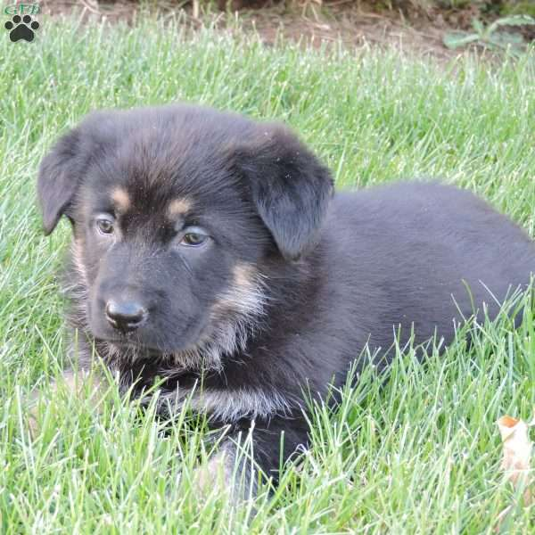 Lady, German Shepherd Puppy