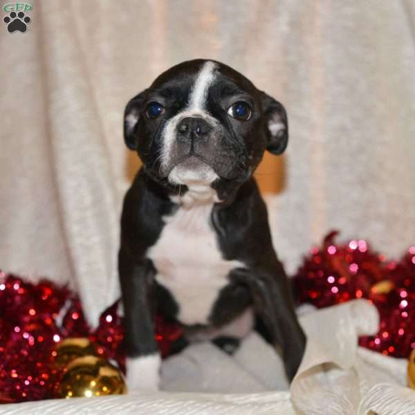 Lexy, Boston Terrier Puppy