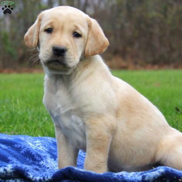 Lilly Rae, Yellow Labrador Retriever Puppy