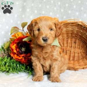 Lou, Goldendoodle-Miniature Puppy