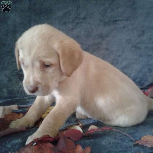 Lucky, Labrador Retriever-Yellow Puppy