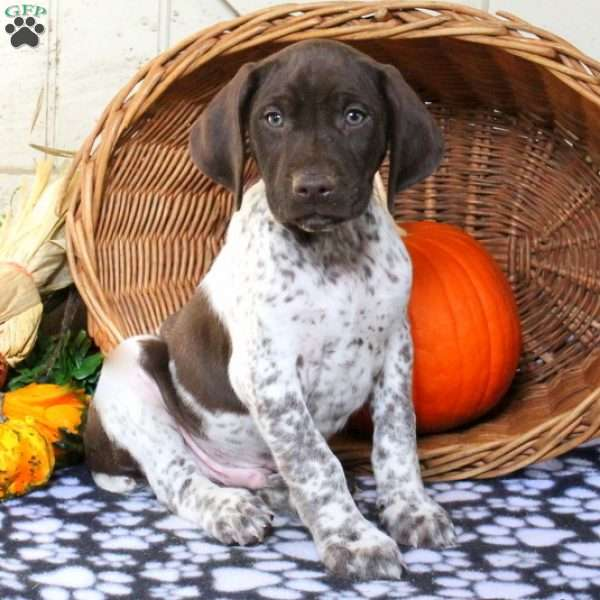 Mace, German Shorthaired Pointer Puppy