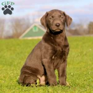 Macy, Labrador Retriever - Charcoal Puppy