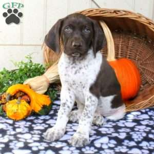 Marble, German Shorthaired Pointer Puppy