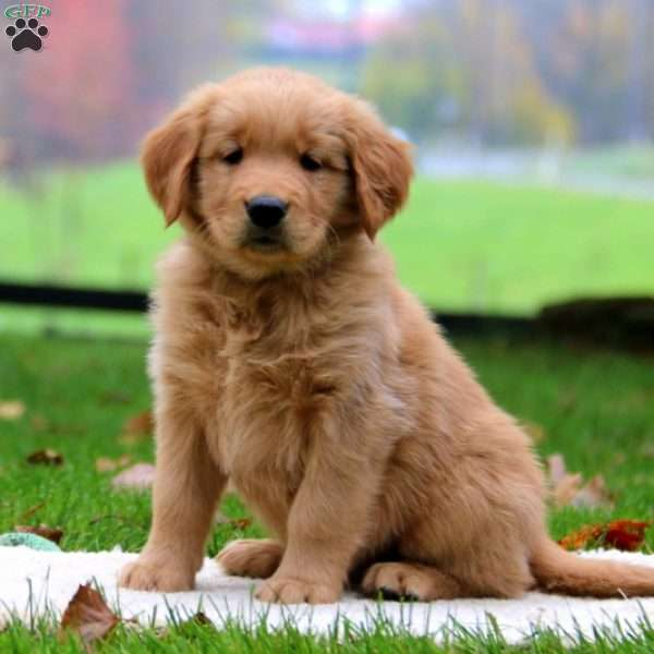 Marco, Golden Retriever Puppy