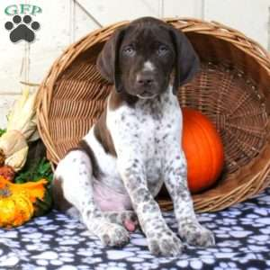 Marky, German Shorthaired Pointer Puppy