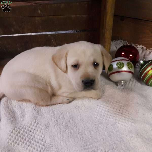 Max, Yellow Labrador Retriever Puppy