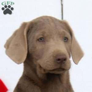 Melody, Labrador Retriever - Silver Puppy