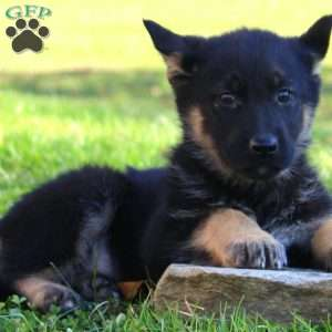 Nichole, German Shepherd Puppy