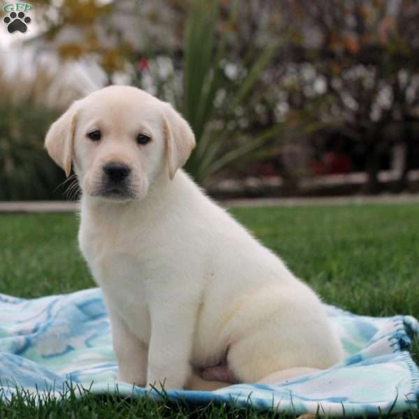 Nathan, Yellow Labrador Retriever Puppy