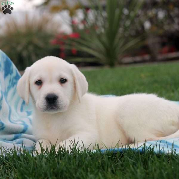 Noah, Yellow Labrador Retriever Puppy