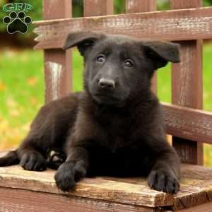 Omie, German Shepherd Puppy