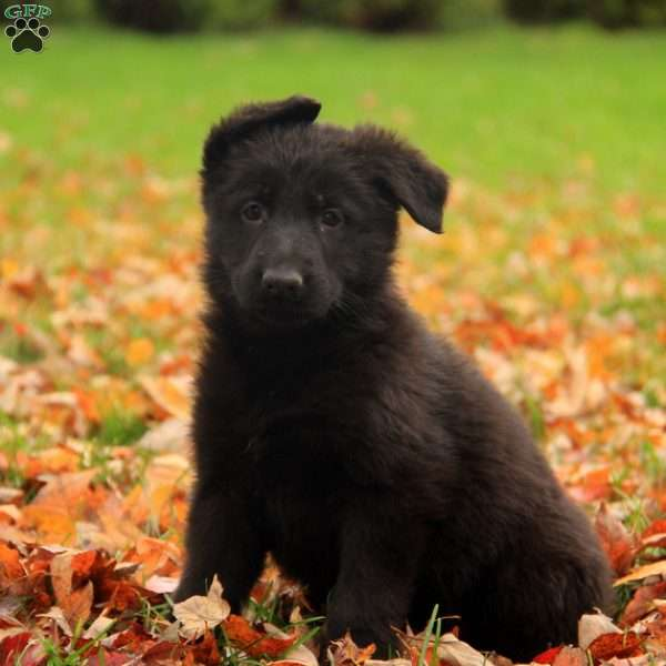 Opal, German Shepherd Puppy