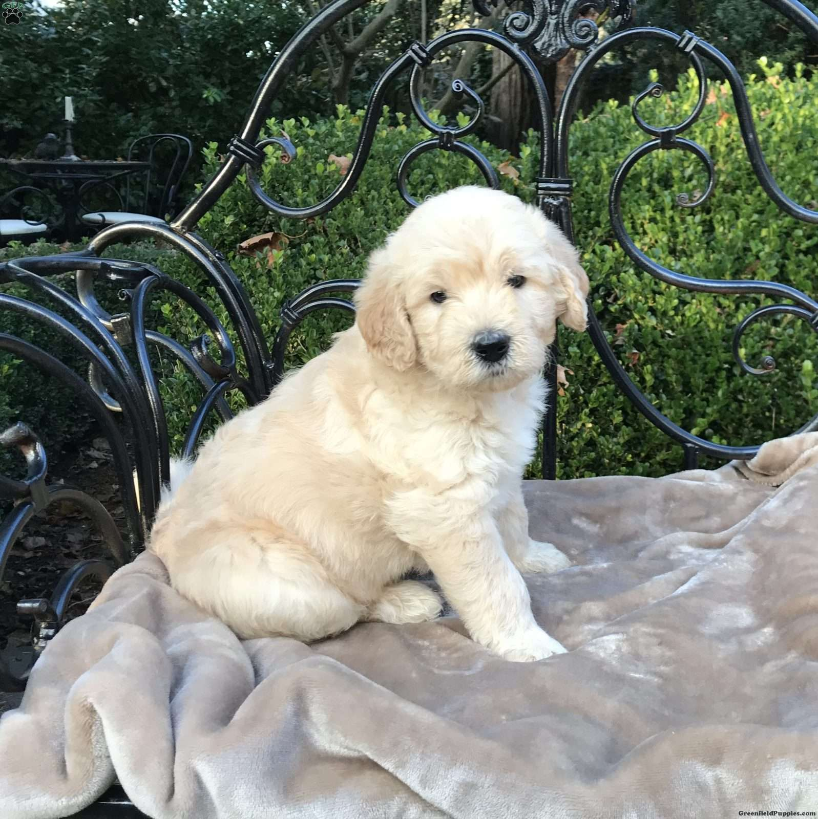 Patch Double Doodle Puppy For Sale In New Jersey