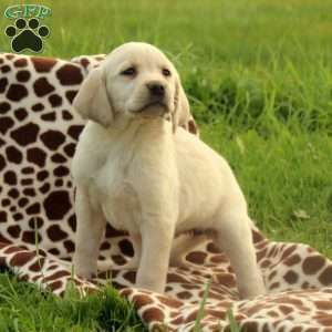 Petunia, Labrador Retriever-Yellow Puppy