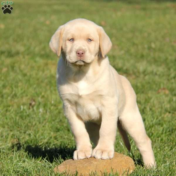 Ruby Mae, Yellow Labrador Retriever Puppy