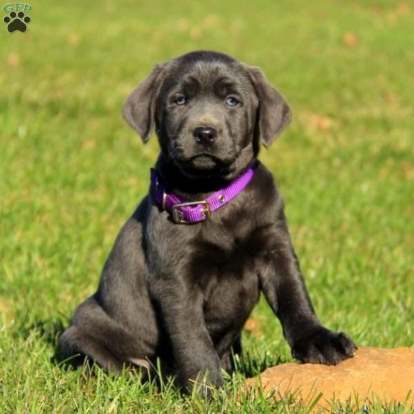 Rugo, Charcoal Labrador Retriever Puppy