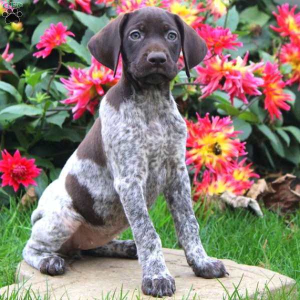Reba, German Shorthaired Pointer Puppy