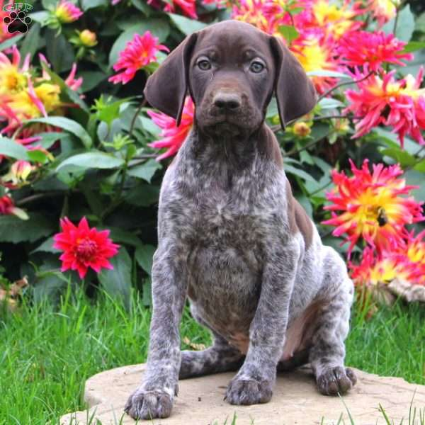 Reeces, German Shorthaired Pointer Puppy
