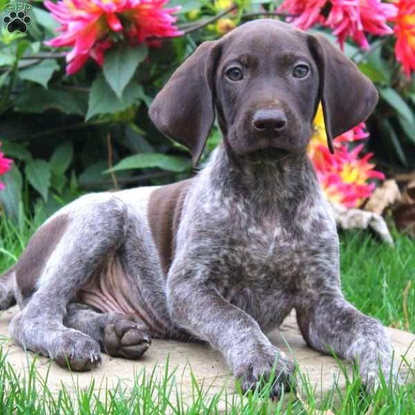 Regan, German Shorthaired Pointer Puppy
