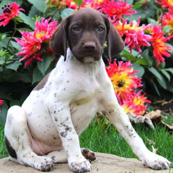 Renee, German Shorthaired Pointer Puppy