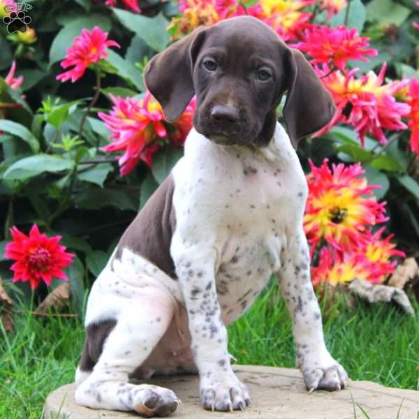 Ricky, German Shorthaired Pointer Puppy