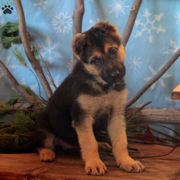 Sasha, German Shepherd Puppy