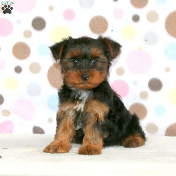 Scooter, Yorkshire Terrier Puppy