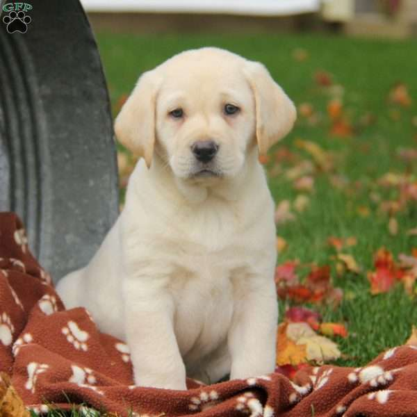 Scout, Yellow Labrador Retriever Puppy