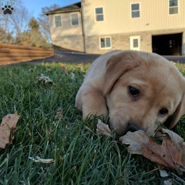 Shiloh, Yellow Labrador Retriever Puppy