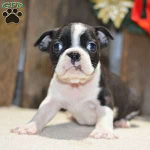 Snickers, Boston Terrier Puppy