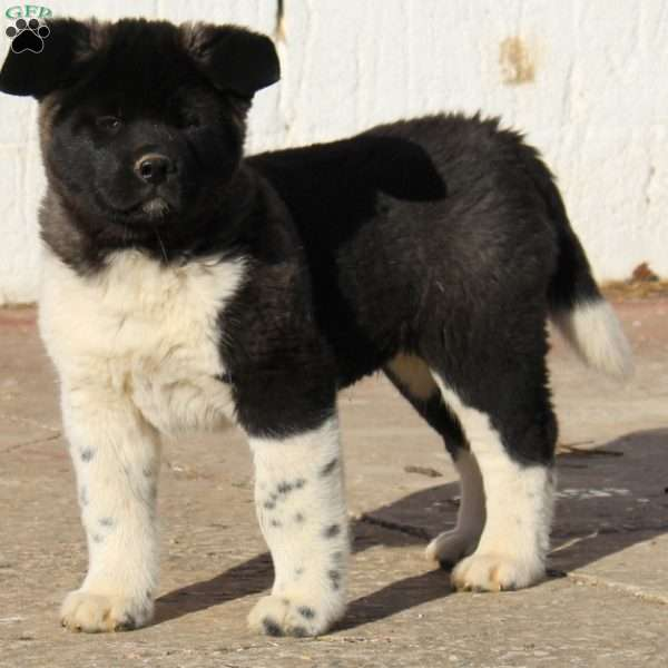 Snickers, Akita Puppy