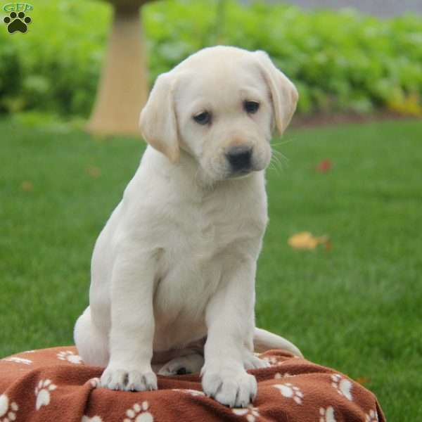 Snowy, Yellow Labrador Retriever Puppy
