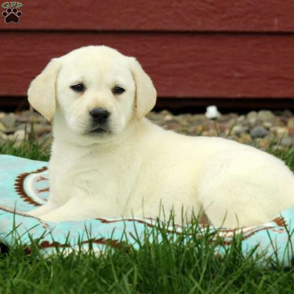 Snuggles, Yellow Labrador Retriever Puppy