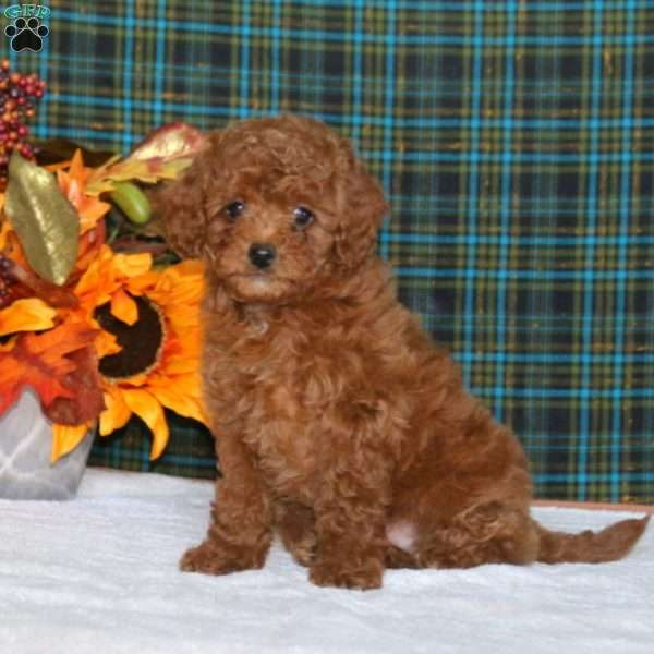 Sophia, Toy Poodle Puppy
