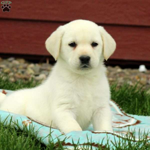 Star, Yellow Labrador Retriever Puppy