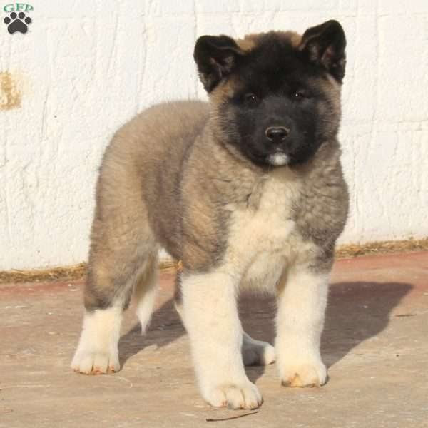 Sugar Cookie, Akita Puppy