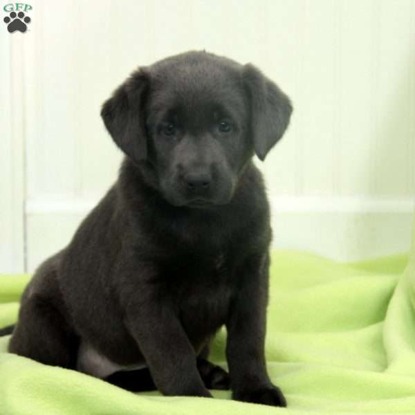 Tasha, Charcoal Labrador Retriever Puppy