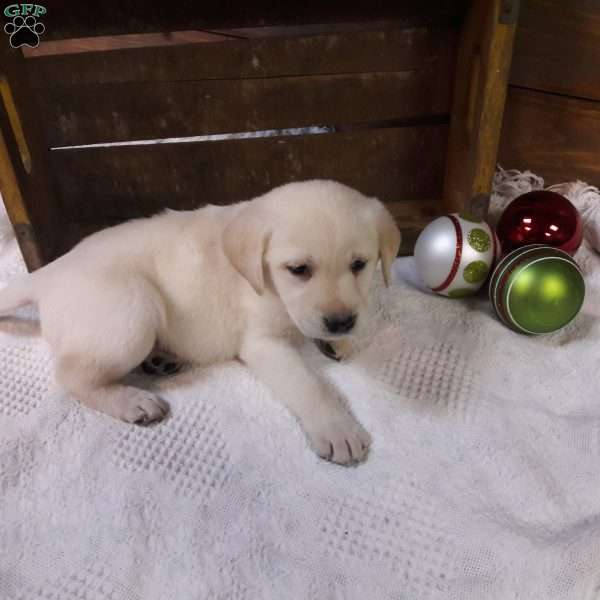 Tyson, Yellow Labrador Retriever Puppy