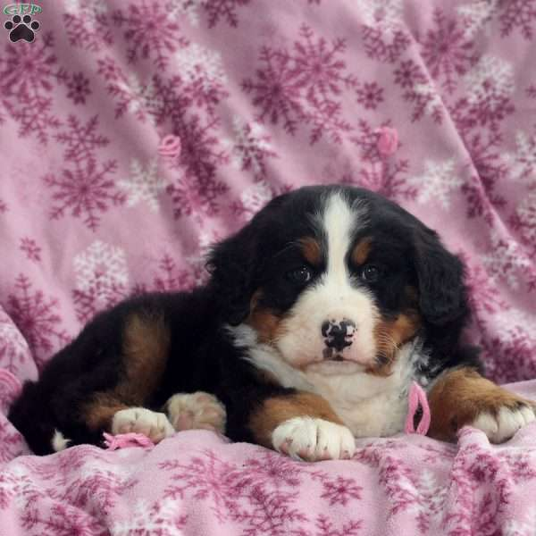 Wesley, Bernese Mountain Dog Puppy