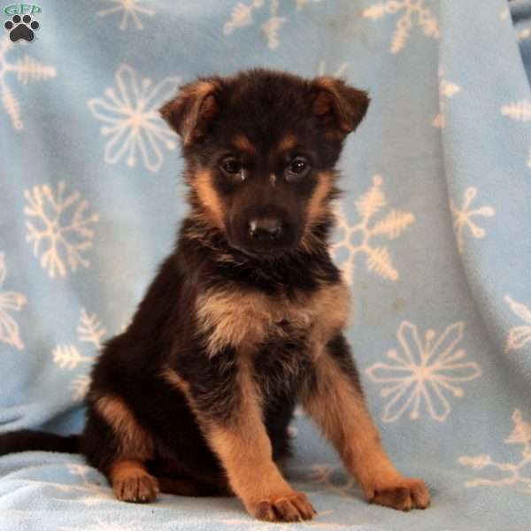 Willow, German Shepherd Puppy
