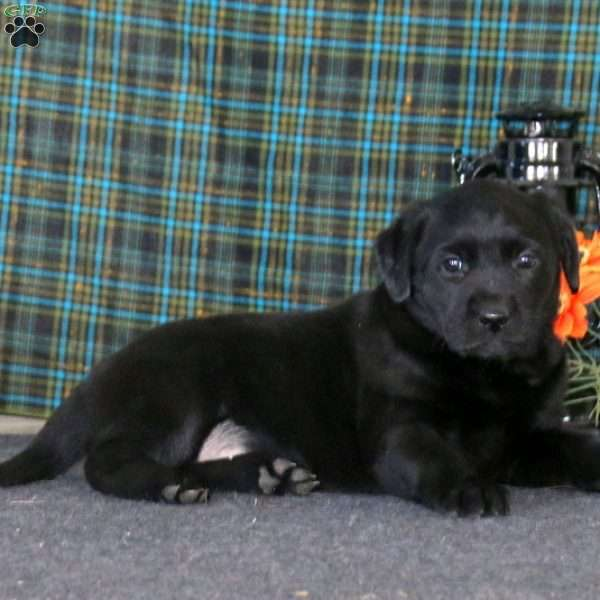 Willow, Black Labrador Retriever Puppy