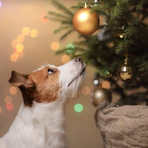 keep your dog safe - jack russel terrier looking up at christmas tree