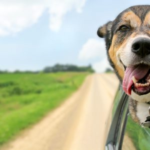 ohio dog-friendly travel guide - german shepherd mix sticking head out of car