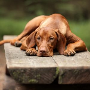 vizsla puppies - vizsla dog lying on a bench