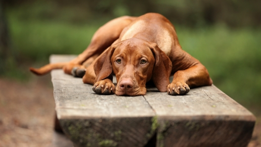 5 Things to Know About Vizsla Puppies