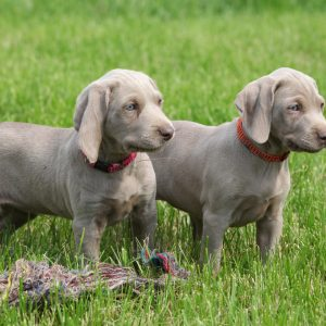 weimaraner puppies playing