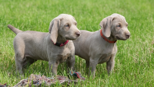 4 Things to Know About Weimaraner Puppies