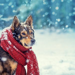 winter dog safety guide - dog in snow with scarf